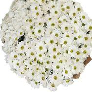 51 ромашкова хризантема - цветы и букеты на uaflorist.com