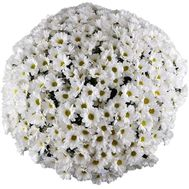 Buy 101 chamomile - flowers and bouquets on uaflorist.com
