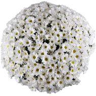 Купить 101 ромашку - цветы и букеты на uaflorist.com