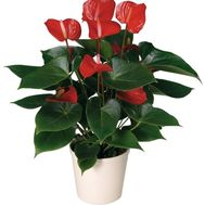 Anthurium - flowers and bouquets on uaflorist.com
