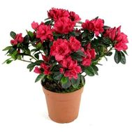 Houseplant azalea - flowers and bouquets on uaflorist.com