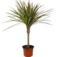 Dracena - flowers and bouquets on uaflorist.com