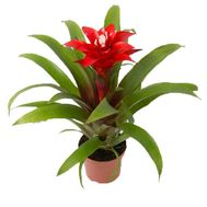 Guzmania - flowers and bouquets on uaflorist.com