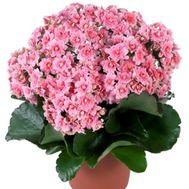 Kalanchoe - flowers and bouquets on uaflorist.com