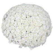 Букет из 101 белой хризантемы - цветы и букеты на uaflorist.com