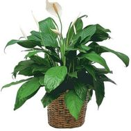 Spathiphyllum (Women''s Happiness) - flowers and bouquets on uaflorist.com