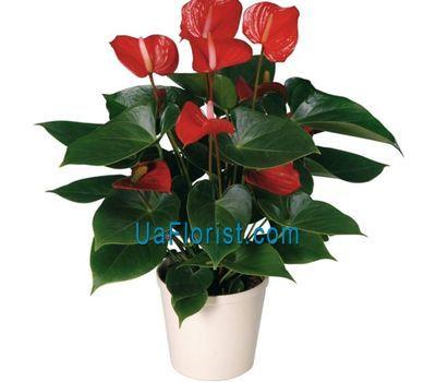 """Anthurium"" in the online flower shop uaflorist.com"