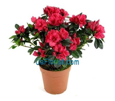 """Houseplant azalea"" in the online flower shop uaflorist.com"