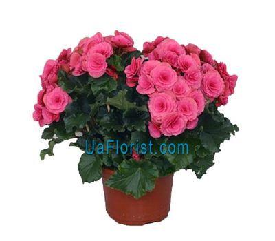 """""""Begonia"""" in the online flower shop uaflorist.com"""