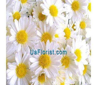 """Bouquet of 25 chamomile"" in the online flower shop uaflorist.com"