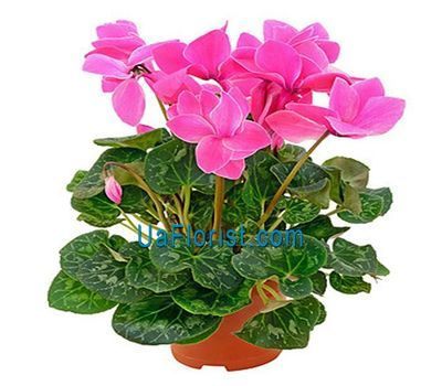 """Cyclamen"" in the online flower shop uaflorist.com"