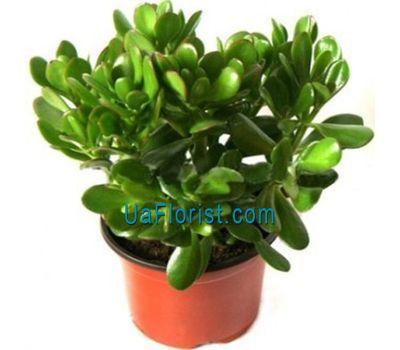"""Money Tree (Crassula)"" in the online flower shop uaflorist.com"