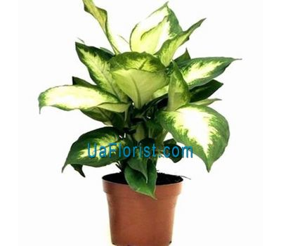 """Diffenbachia"" in the online flower shop uaflorist.com"