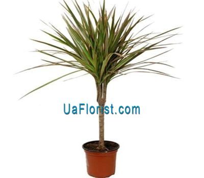 """Dracena"" in the online flower shop uaflorist.com"