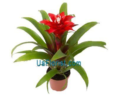 """Guzmania"" in the online flower shop uaflorist.com"