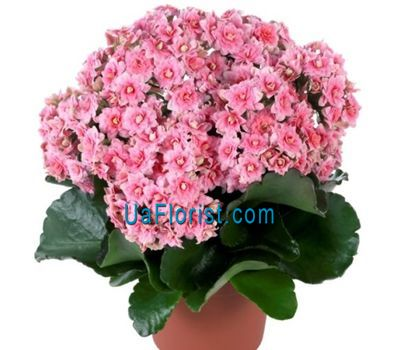 """Kalanchoe"" in the online flower shop uaflorist.com"
