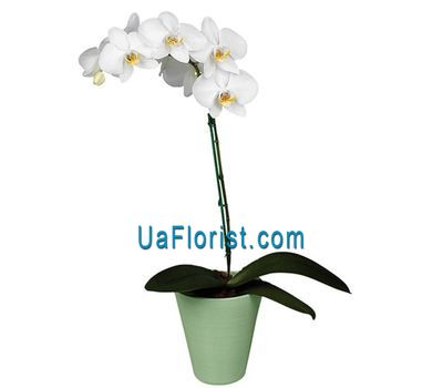 """Phalaenopsis is white"" in the online flower shop uaflorist.com"