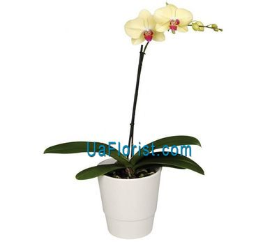 """An orchid of yellow color"" in the online flower shop uaflorist.com"
