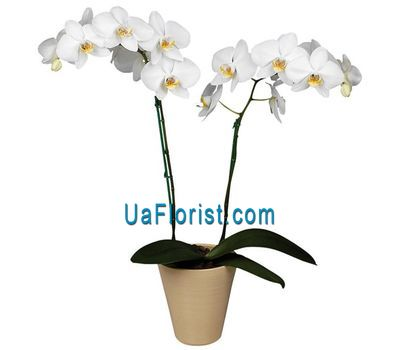 """Orchid phalaenopsis white (2 branches)"" in the online flower shop uaflorist.com"