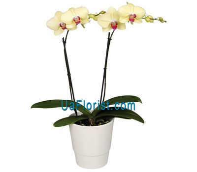 """Yellow orchid (2 branches)"" in the online flower shop uaflorist.com"