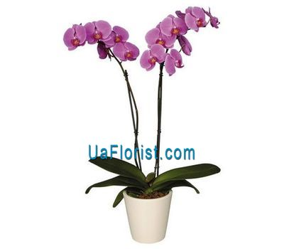 """Phalinopsis pink (2 branches)"" in the online flower shop uaflorist.com"