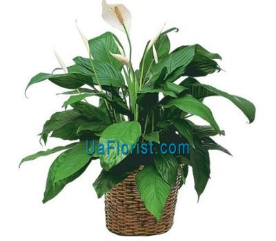 """Spathiphyllum (Women''s Happiness)"" in the online flower shop uaflorist.com"